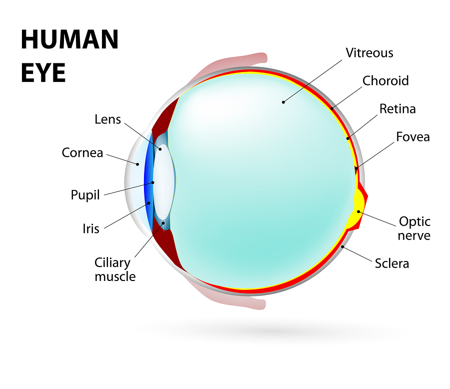 Eye. Human Anatomy